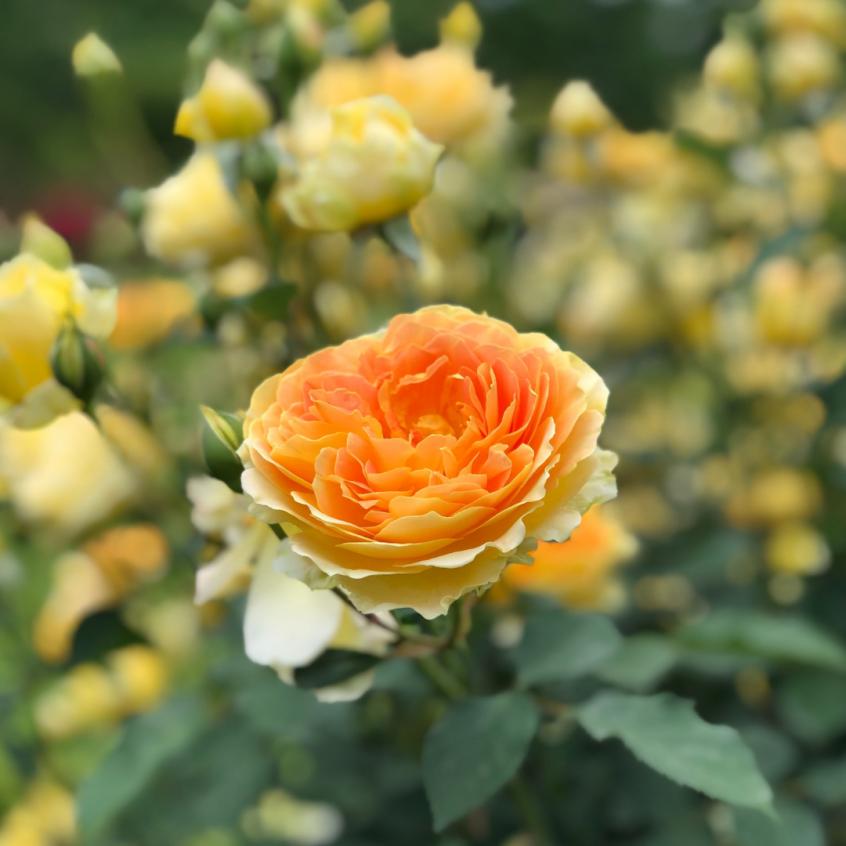 Antique Rose Emporium