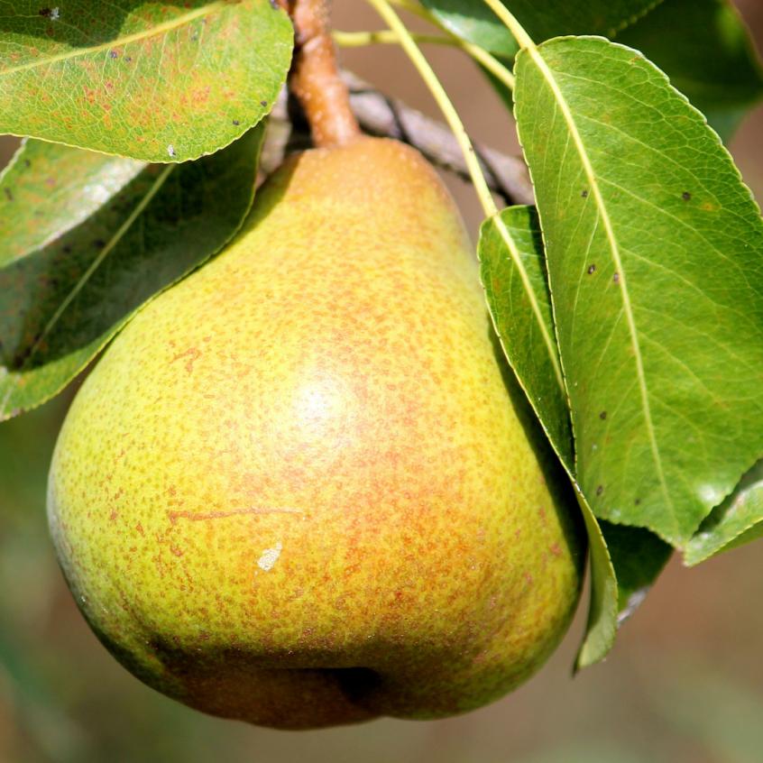 Homemade Pear Cobbler